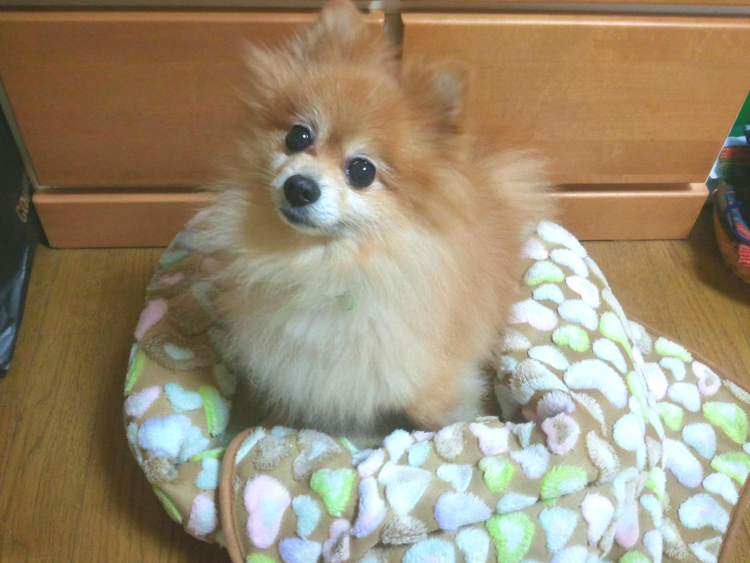ペット,愛犬家,ポメラニアン,ぬいぐるみみたい,めちゃくちゃかわいい