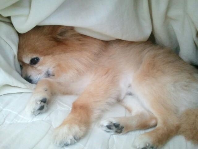 世界一かわいい愛犬ペットポメラニアン天国へから寝顔ワンラブ
