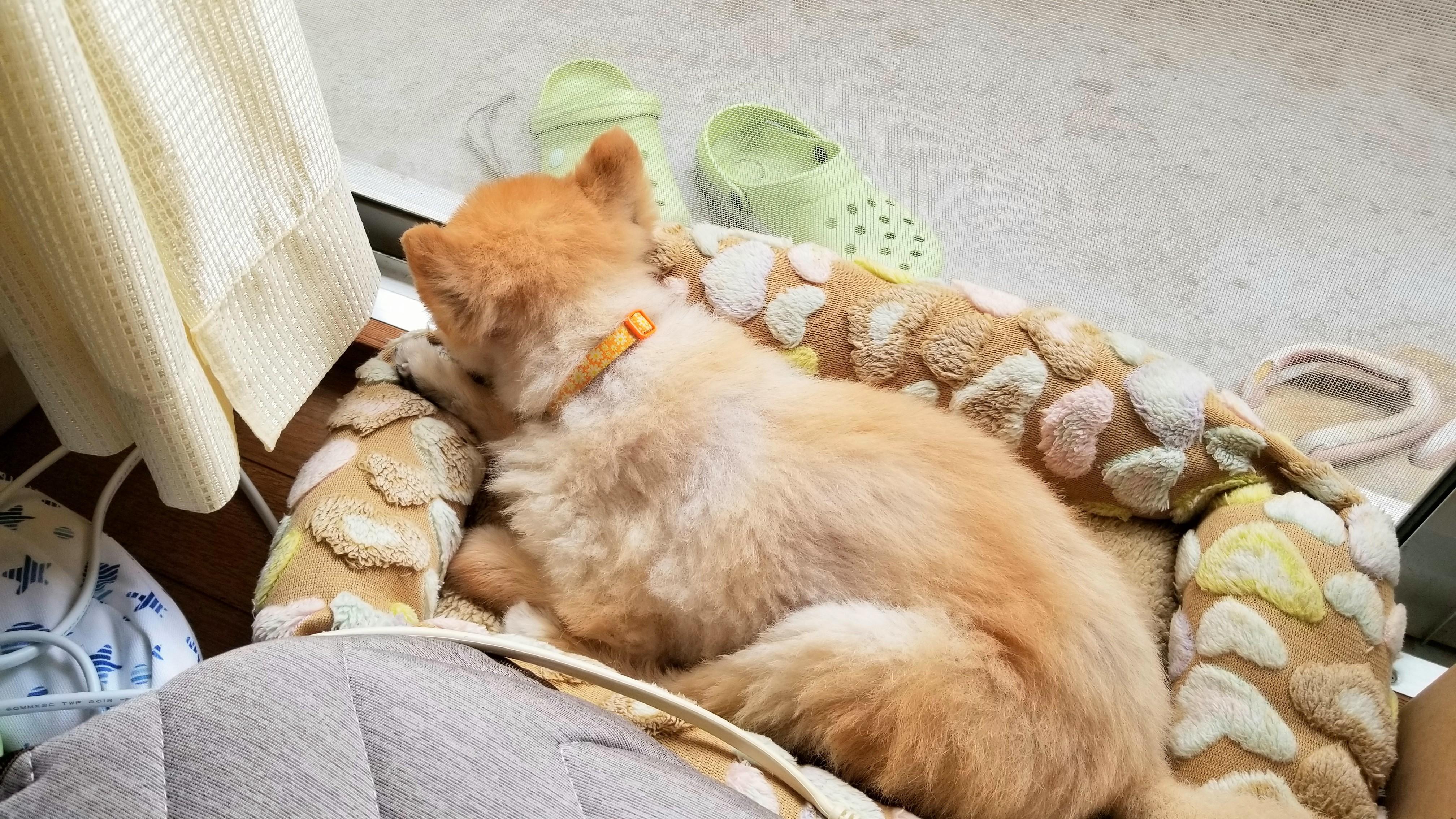 愛犬ペットポメラニアンひどい下痢体重減少痩せたる病気心配ガリガリ