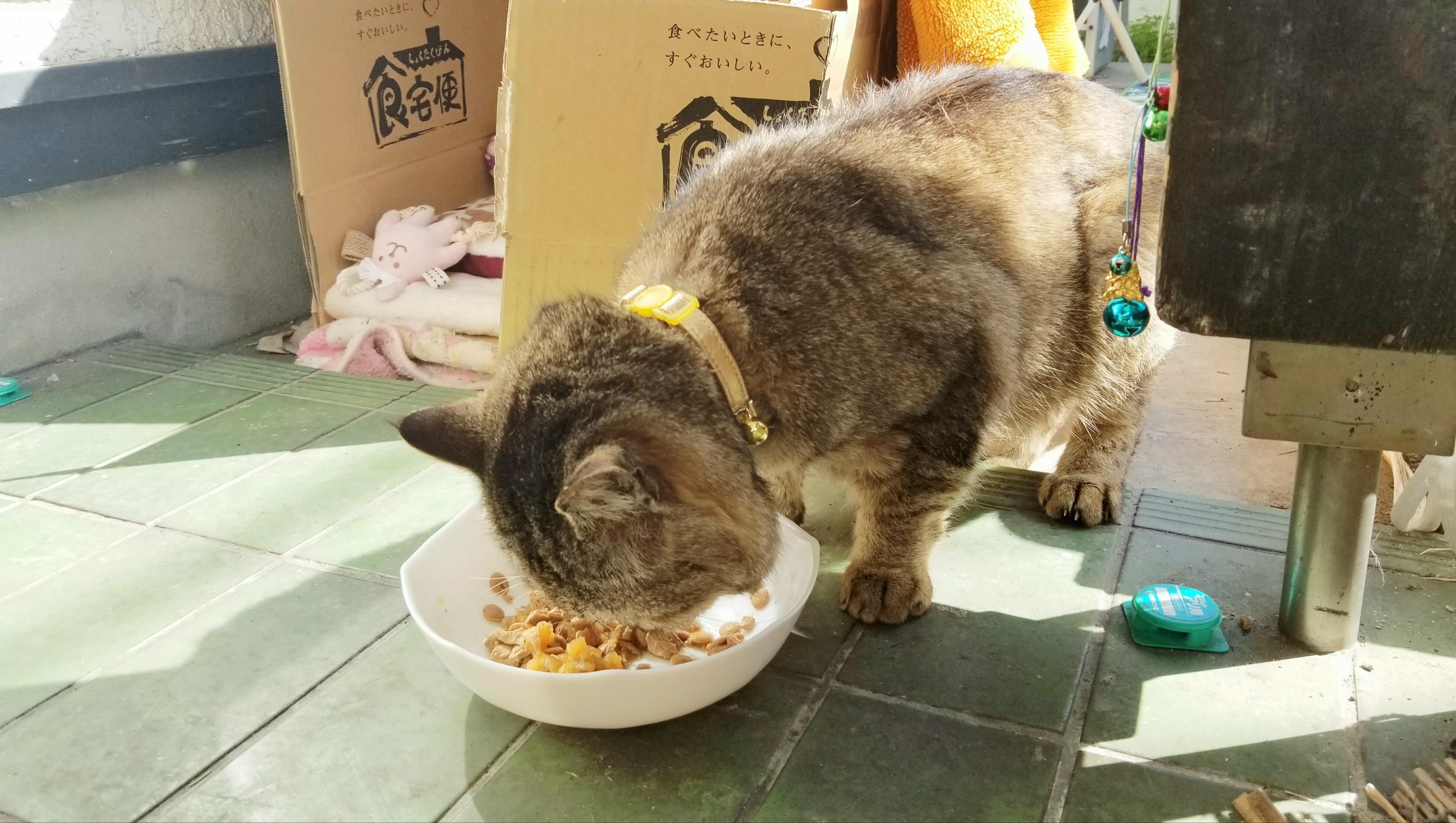 野良猫ちゃん保護老にゃんこご飯の時間食欲旺盛怪我回復完治安心
