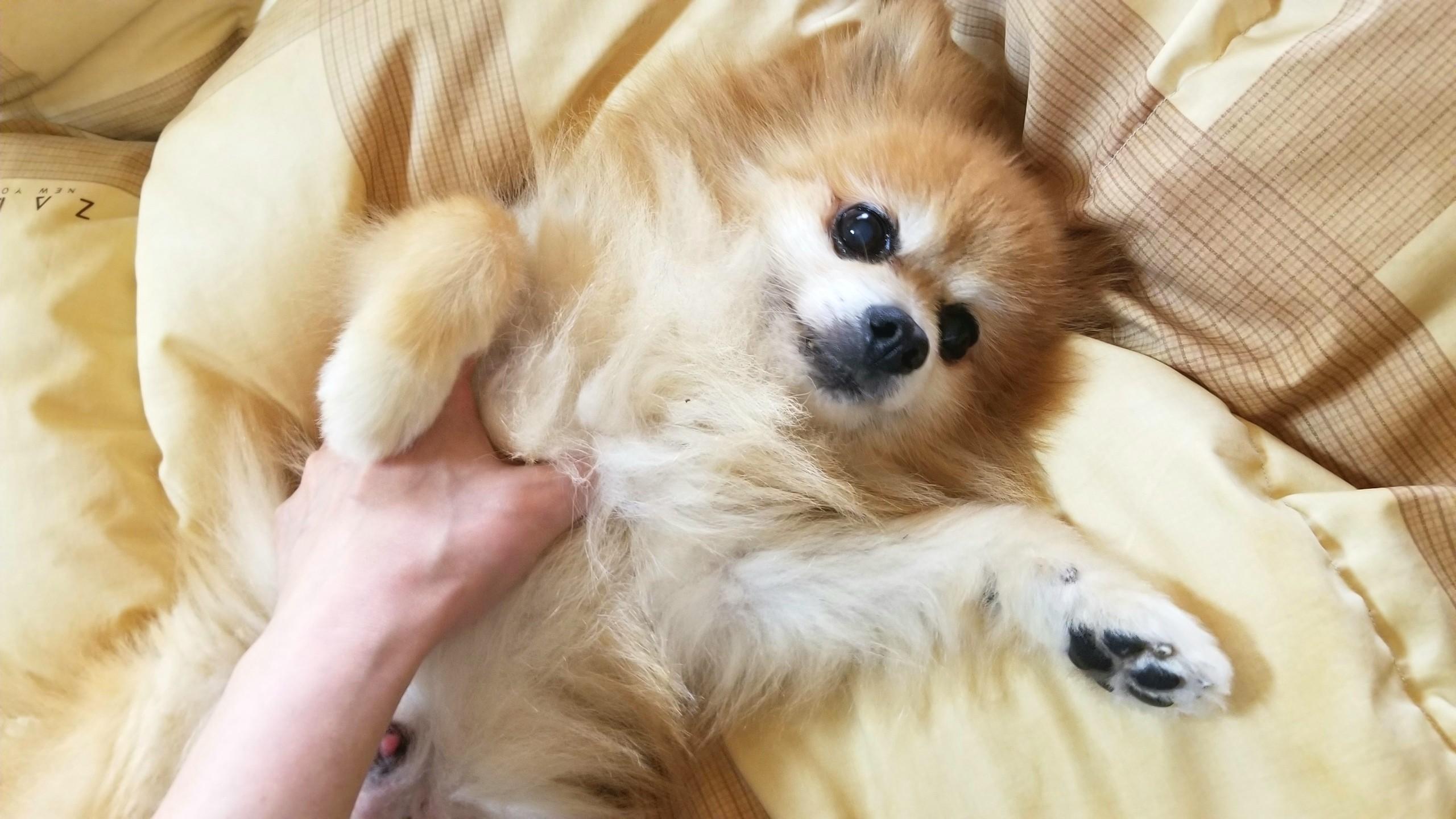 ポメラニアン,可愛い,らぶらぶ,癒される,イケメン,愛犬君,ペット