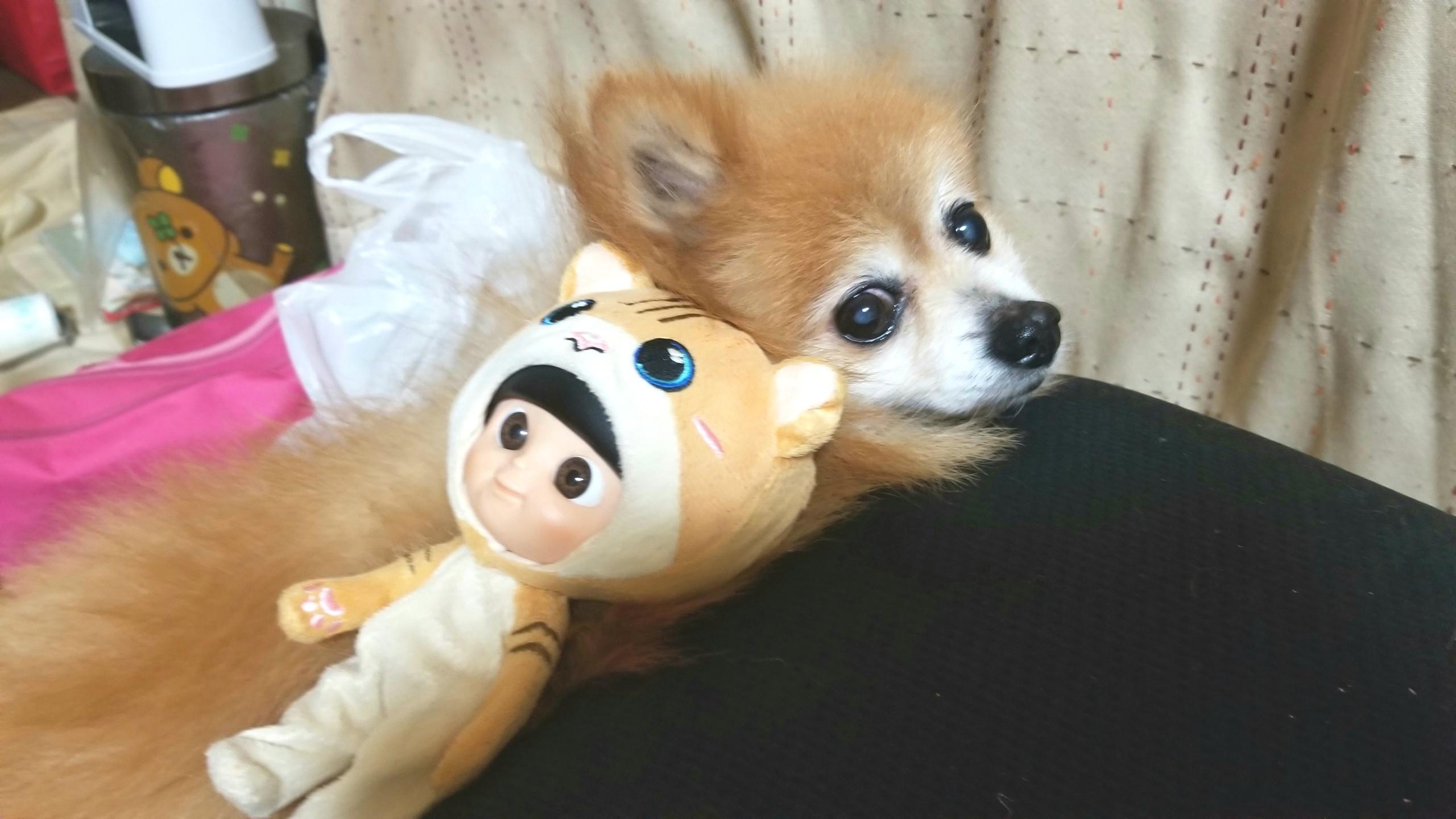 愛犬君といつも仲良し,世界一可愛いポメラニアン,お家でまったり遊ぶ