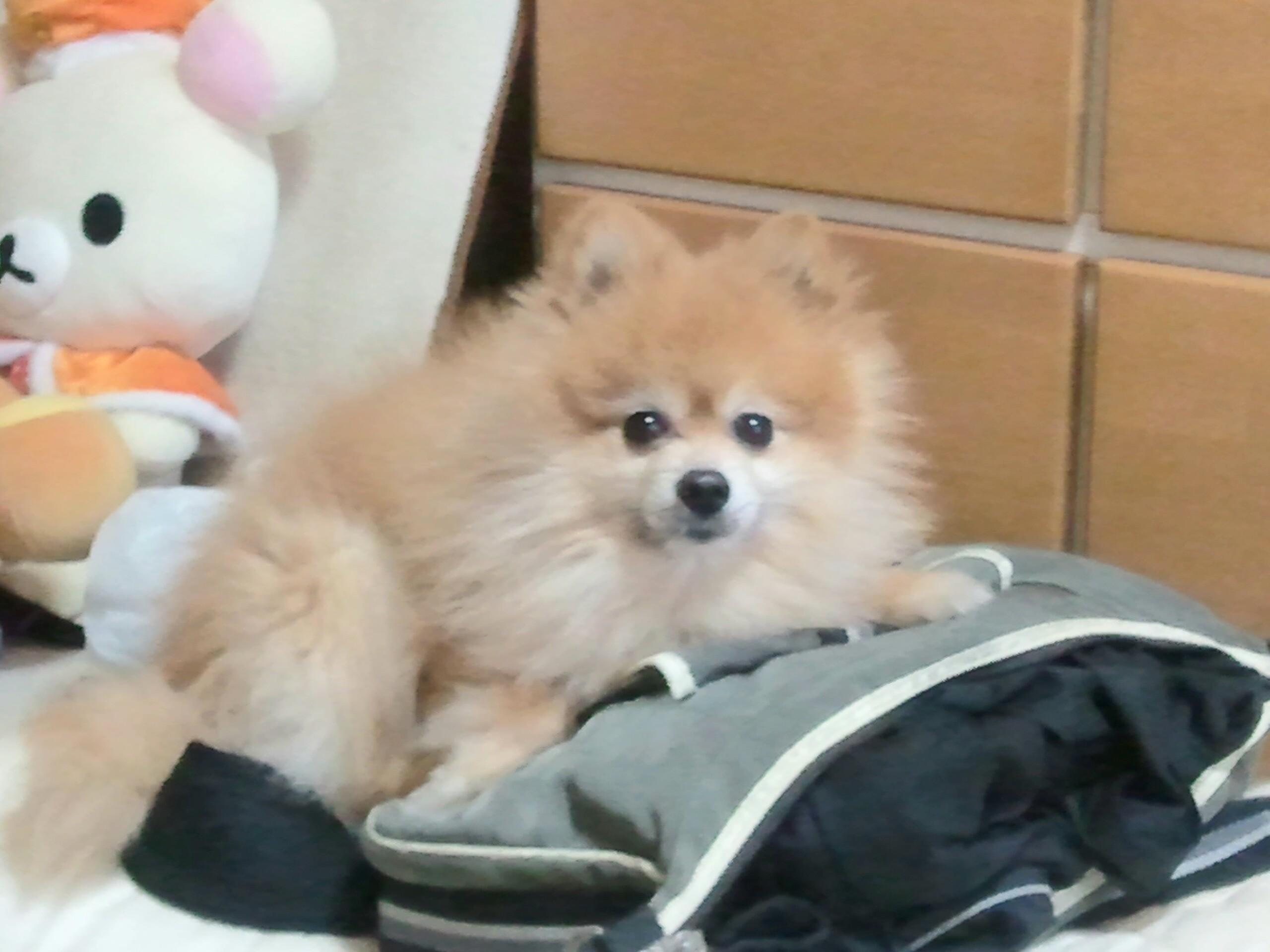 世界一可愛い愛犬ポメラニアン人気おすすめアイドルもこもこ大好き