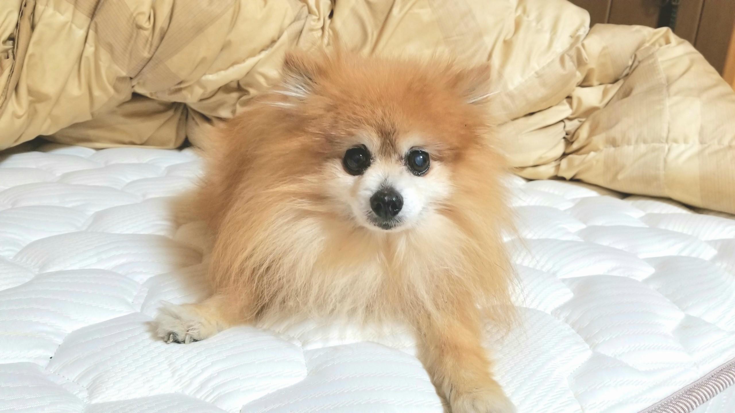 世界一かわいいポメラニアン大好きsocutedogtinylovelyペット愛犬