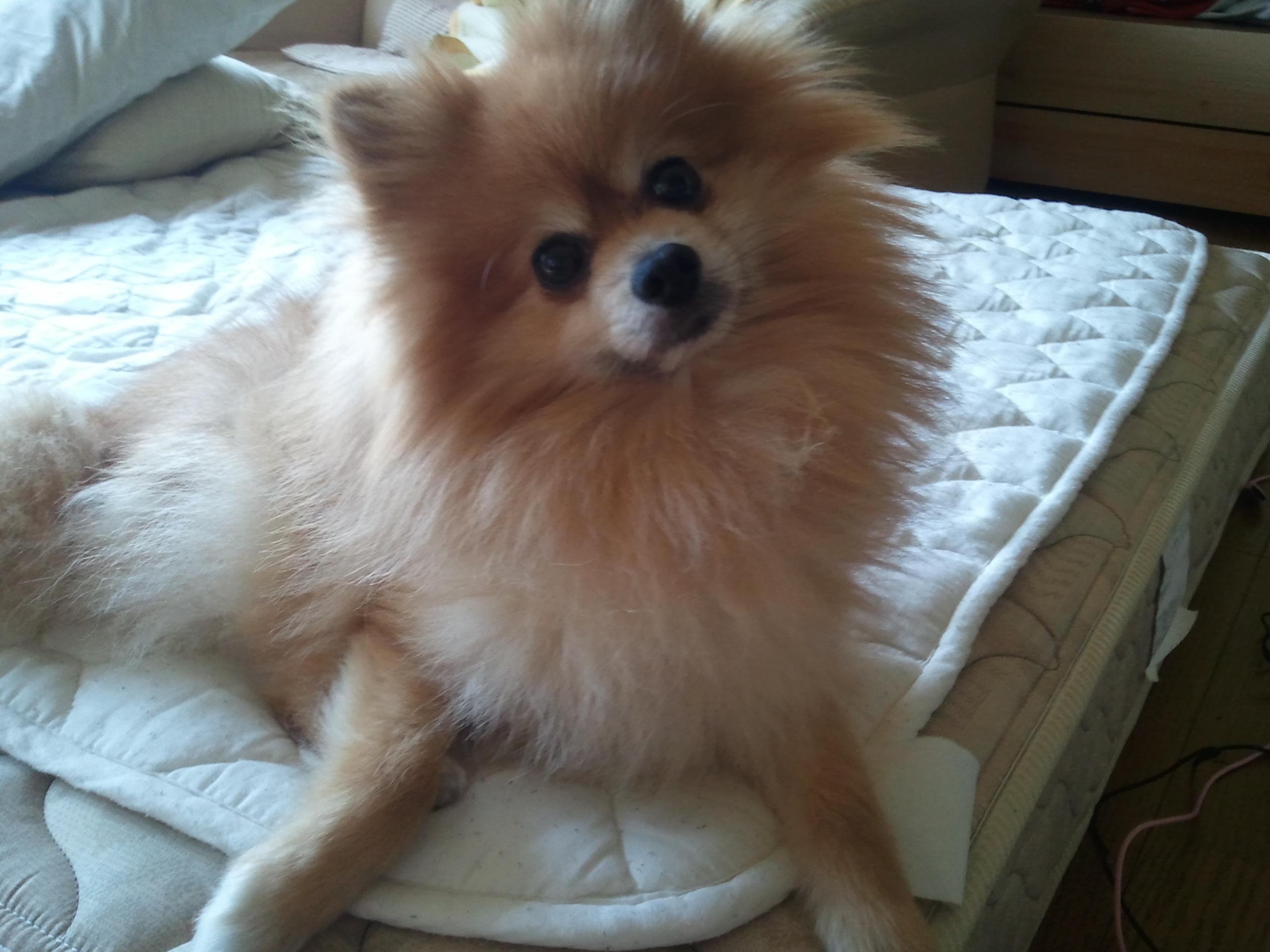 愛犬ペット,かわいい表情のポメラニアン,お顔,鼻目口,犬好きブログ