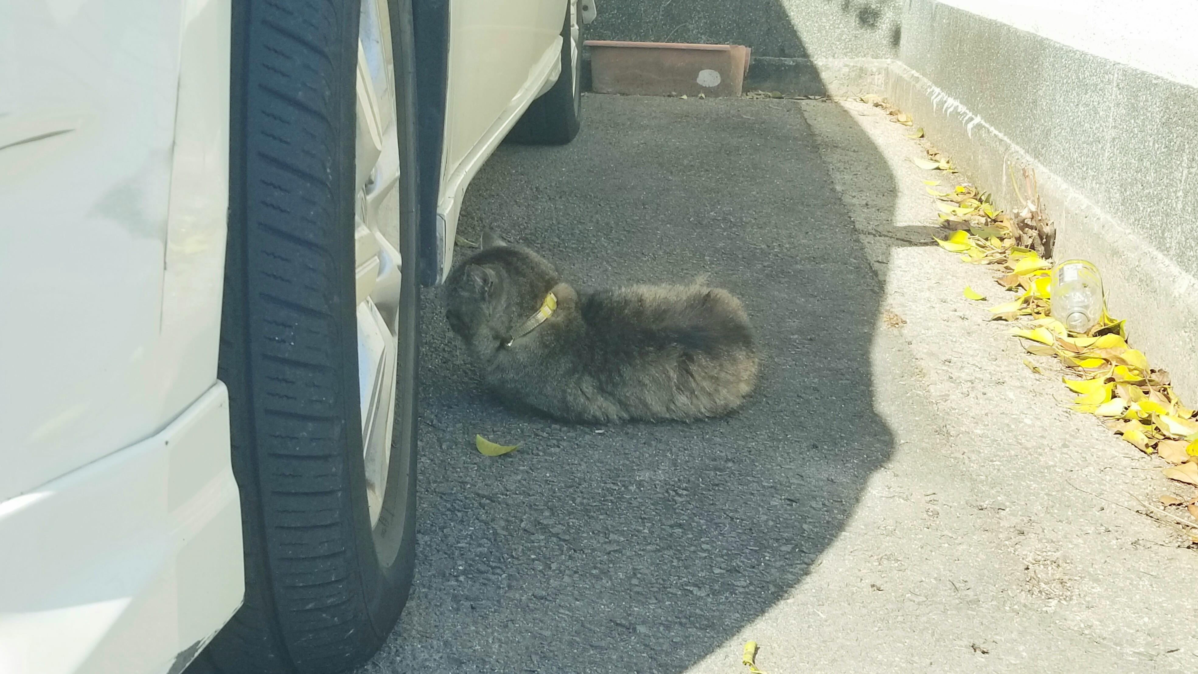 猫にゃんこちゃん縄張り意識なつくなついてる首輪した警戒心強め