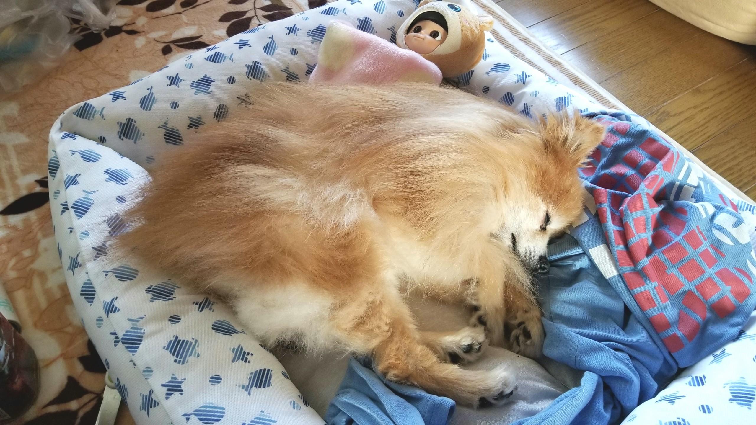 犬トイレ動かない歩けない,年齢老化白内障,15歳元気がない流動食
