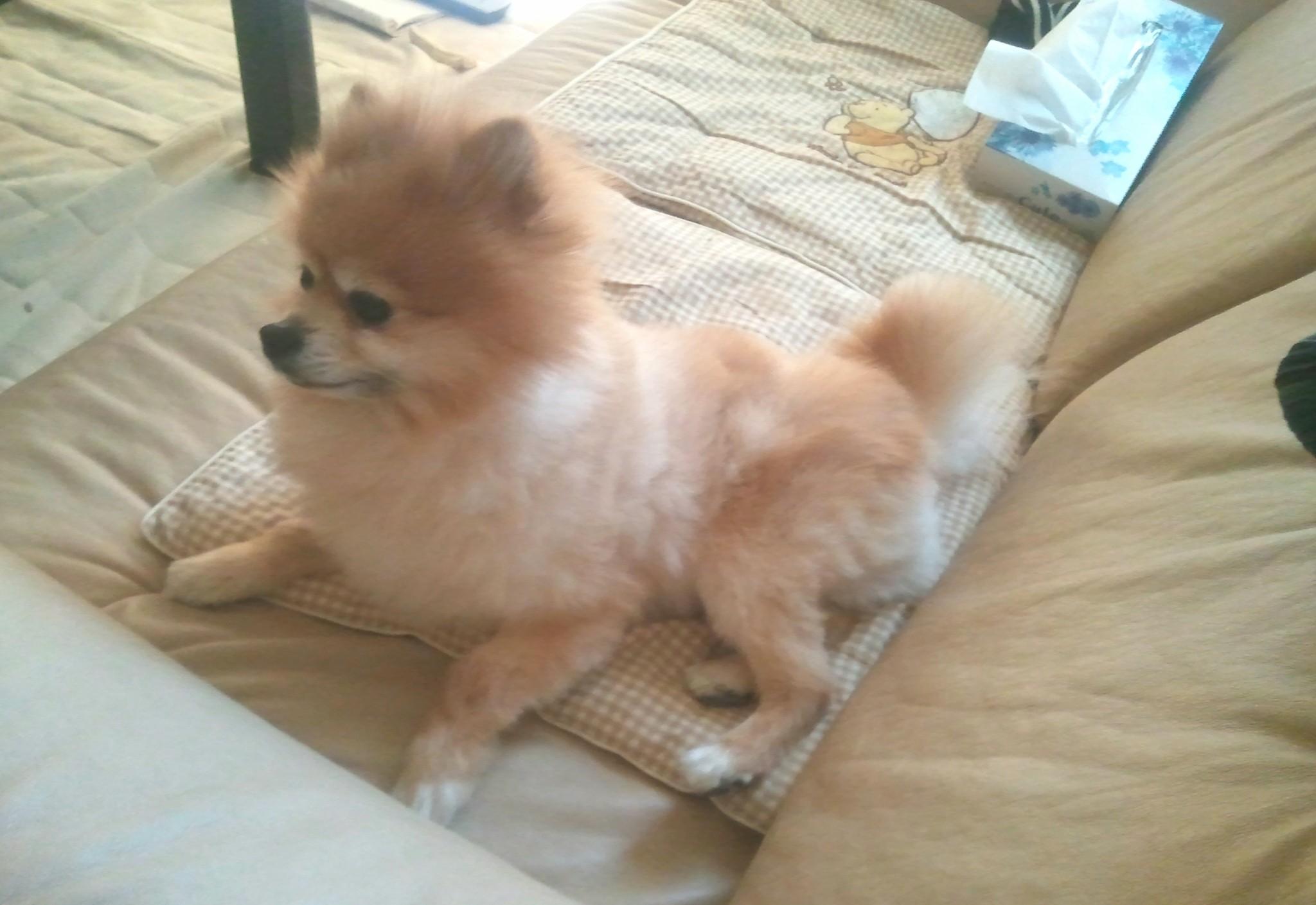 ペット,犬,ポメラニアン,もふもふ,柴カット,人気,ソファーでくつろぐ