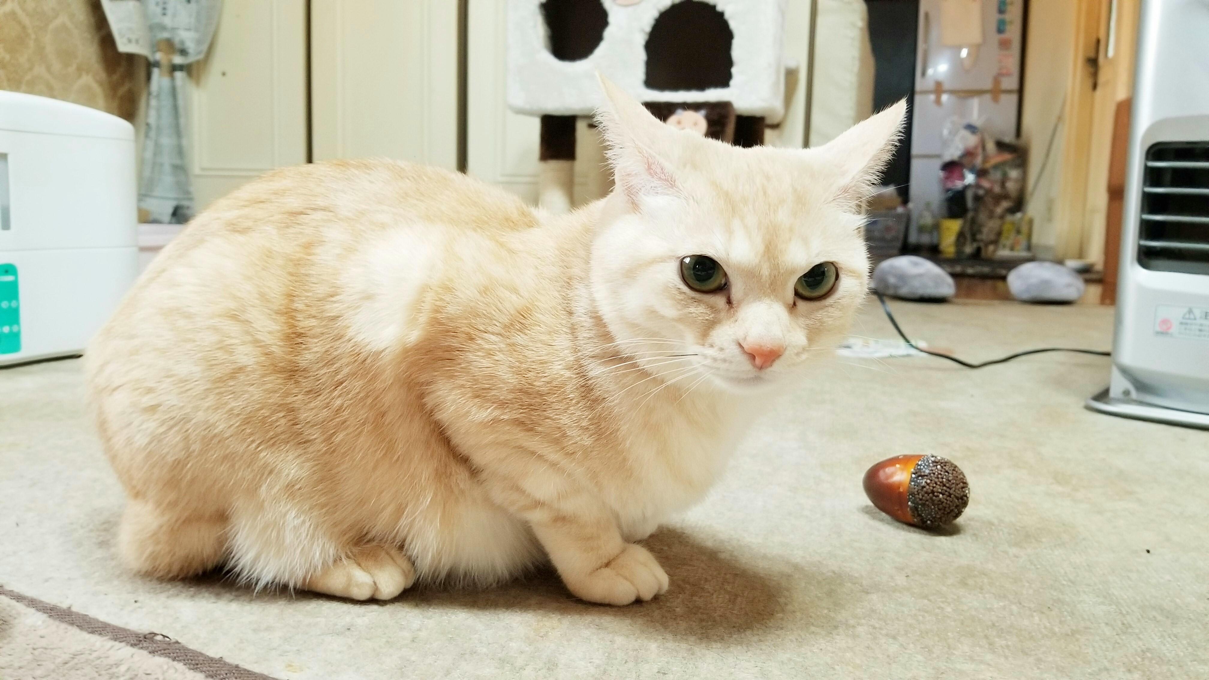 可愛い家猫にゃんこラブ好き白茶色ぬいぐるみみたい綺麗わがままな