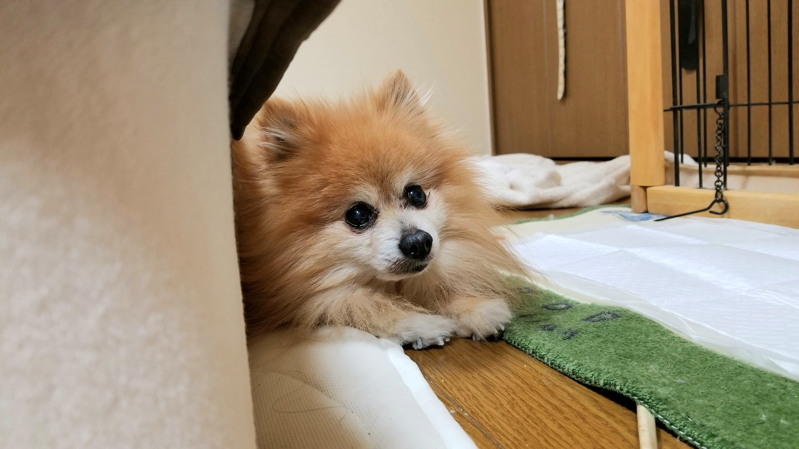 一人暮らし犬家族病気様子がおかしい認知症心臓弁膜症病気パテラ小型