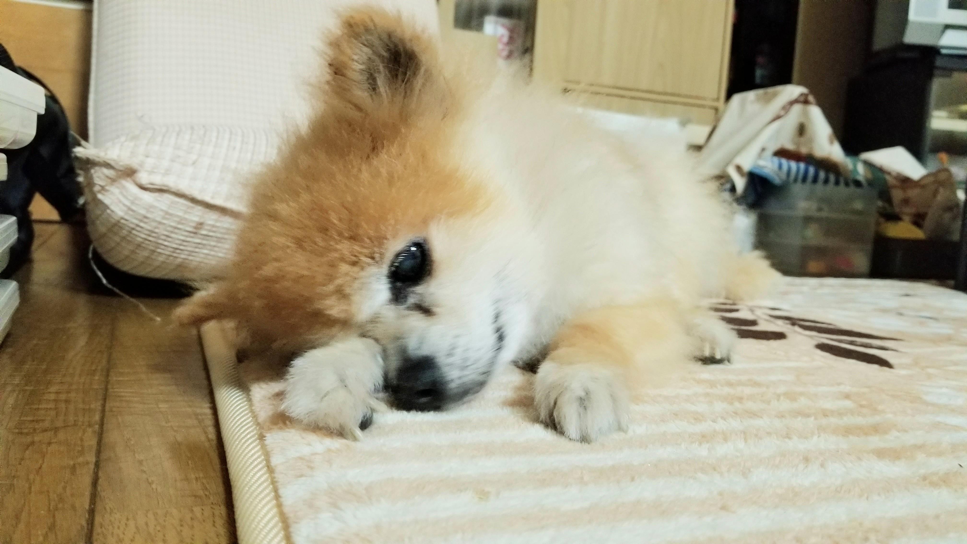 愛犬くんペットのいる生活老犬かわいいポメラニアン大好き眠たい顔
