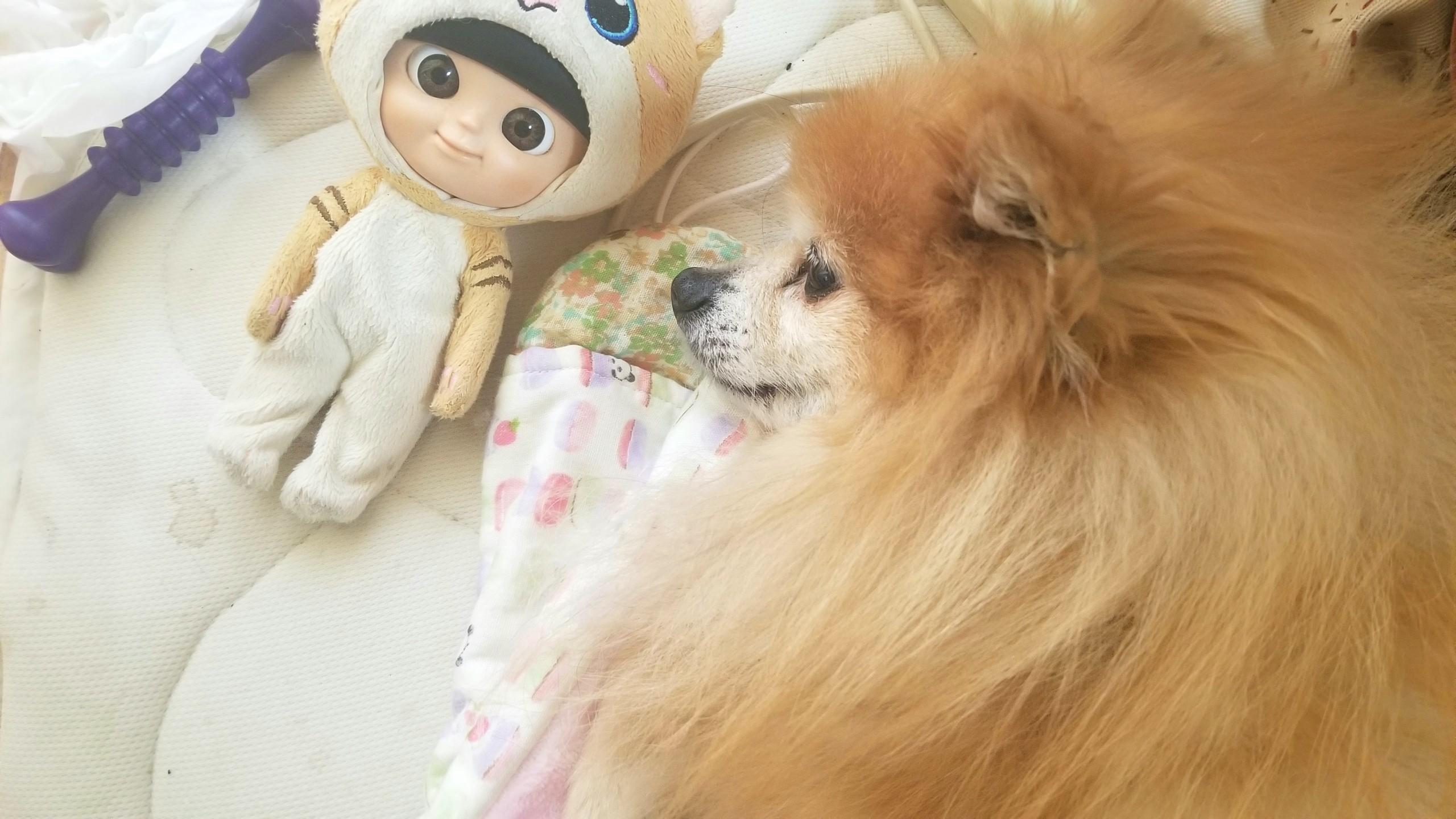 世界一かわいいポメラニアン,大好きな愛犬,若い老犬,もふもふ寝顔