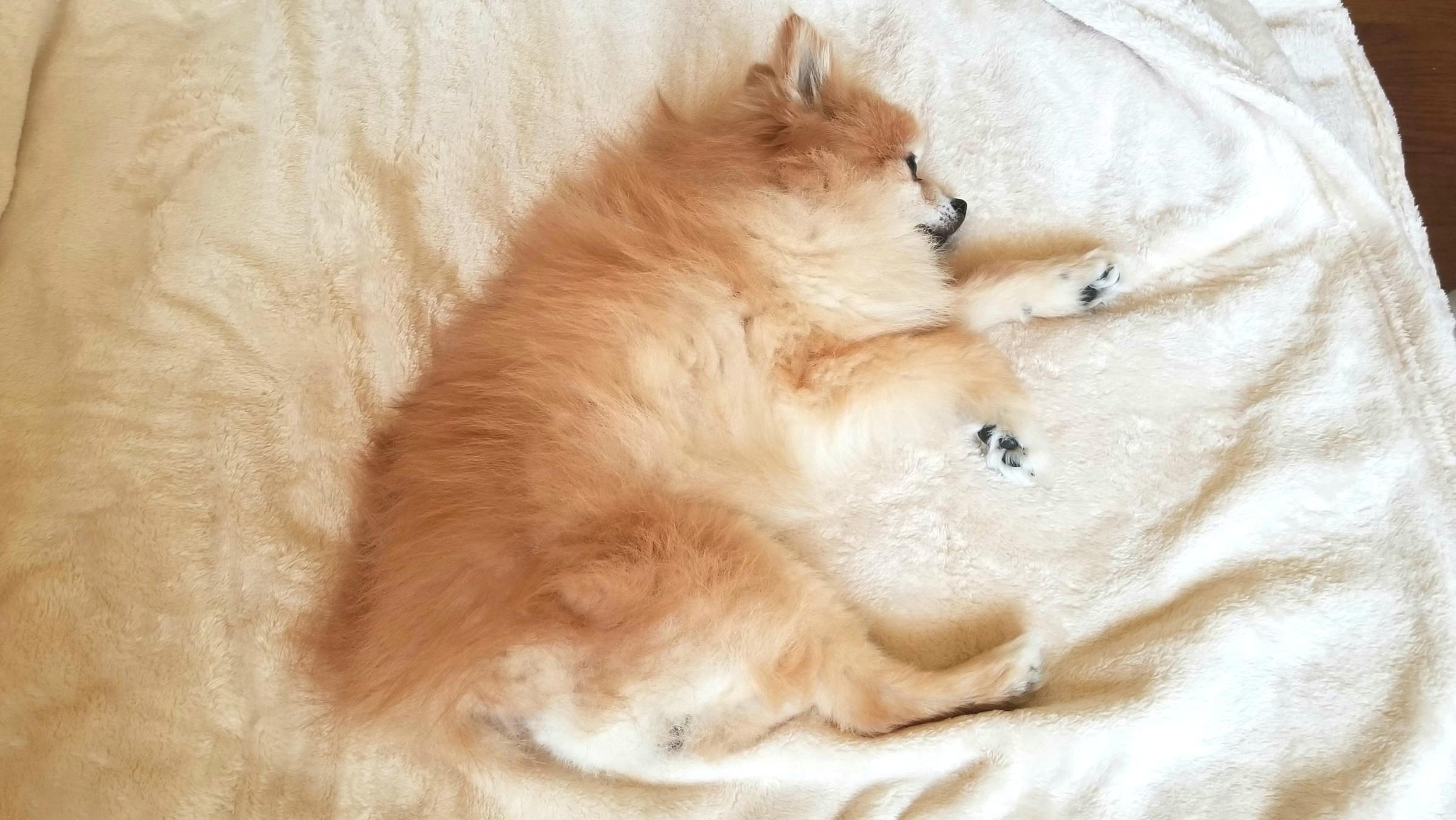 愛犬家,ペット,ポメラニアン,友達からプレゼント,食欲不振,可愛い