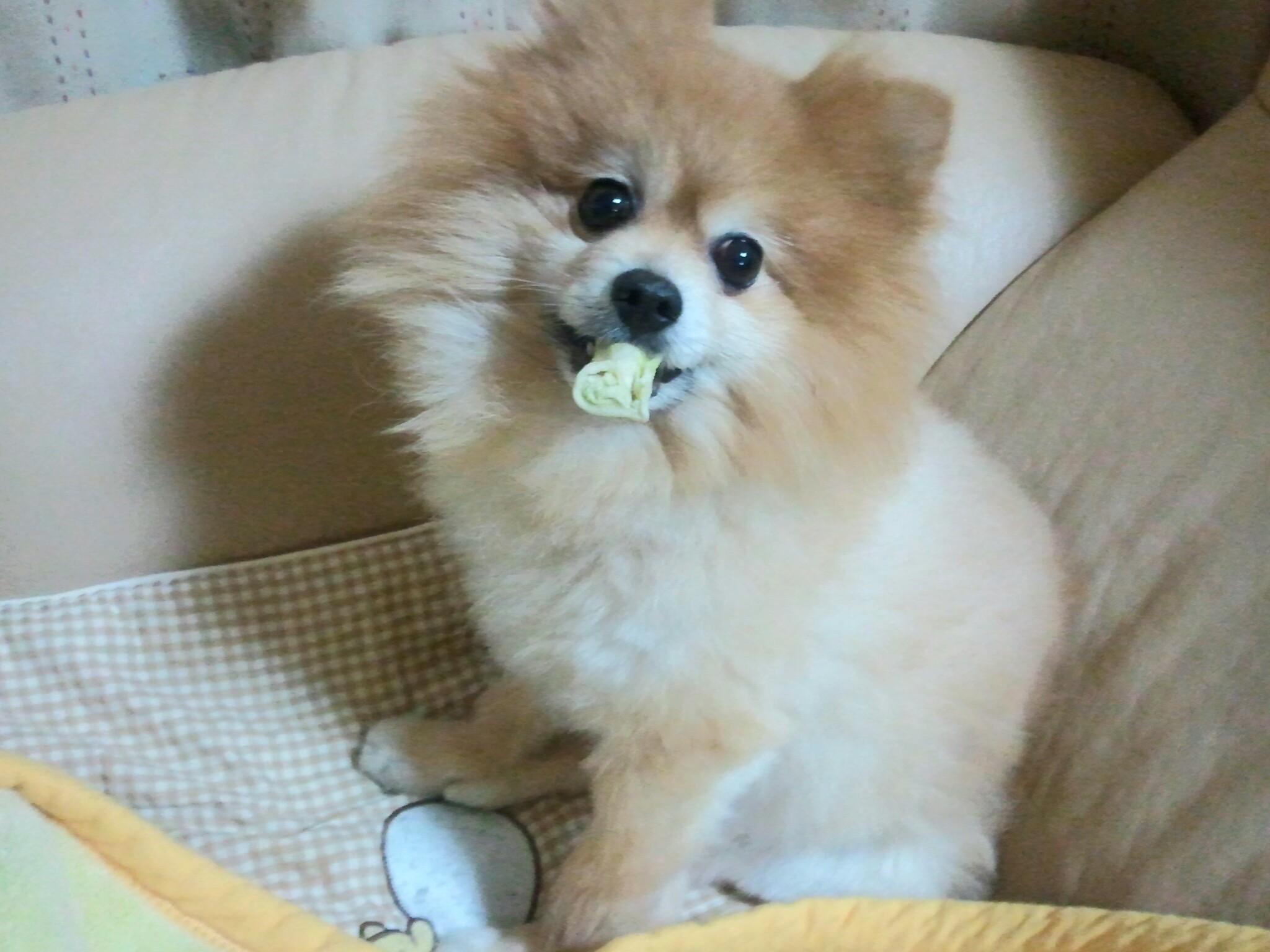 世界一かわいいポメラニアンぬいぐるみみたい人気アイドル犬ペット