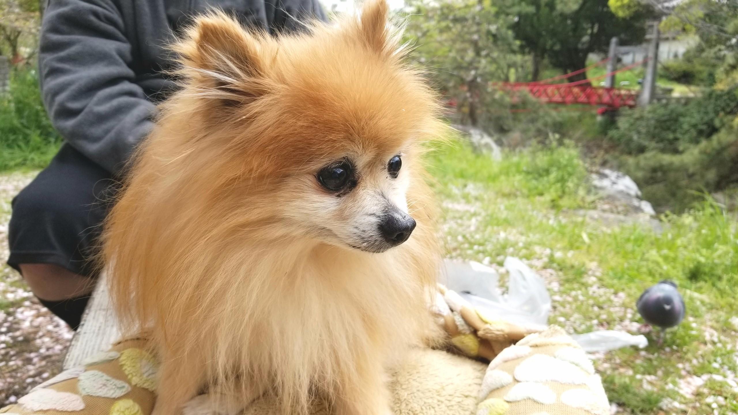 病気のペット愛犬世界一かわいいポメラニアンぬいぐるみみたい