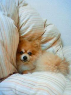 愛犬大好きポメラニアンかわいい天国へから見守ってね私の癒し人気