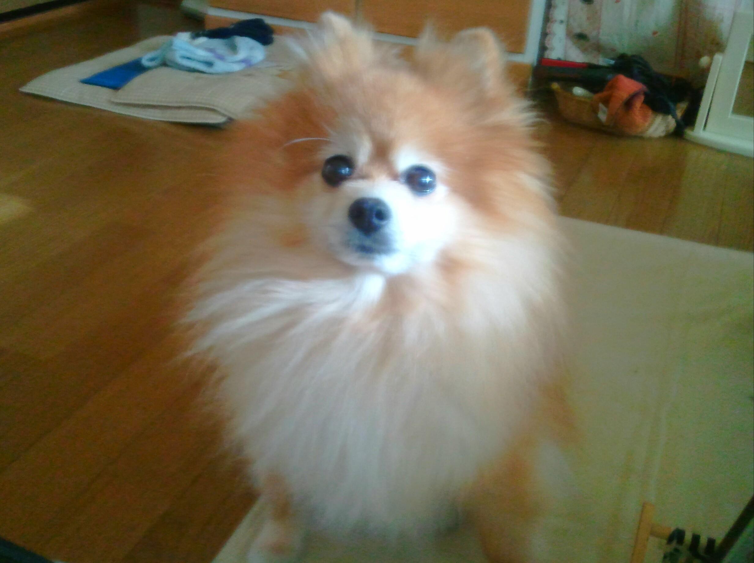 世界一可愛いぬいぐるみみたいもふもふこポメラニアン自慢の画像犬