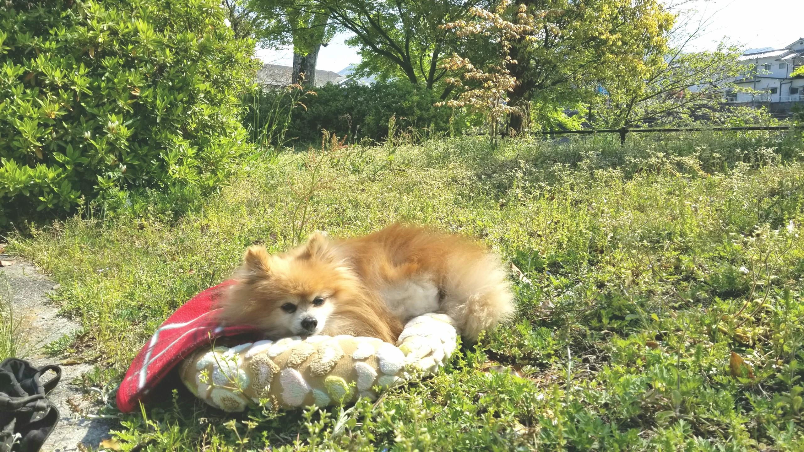 ペットの病気愛犬かわいいポメラニアン公園お散歩歩けないいい天気