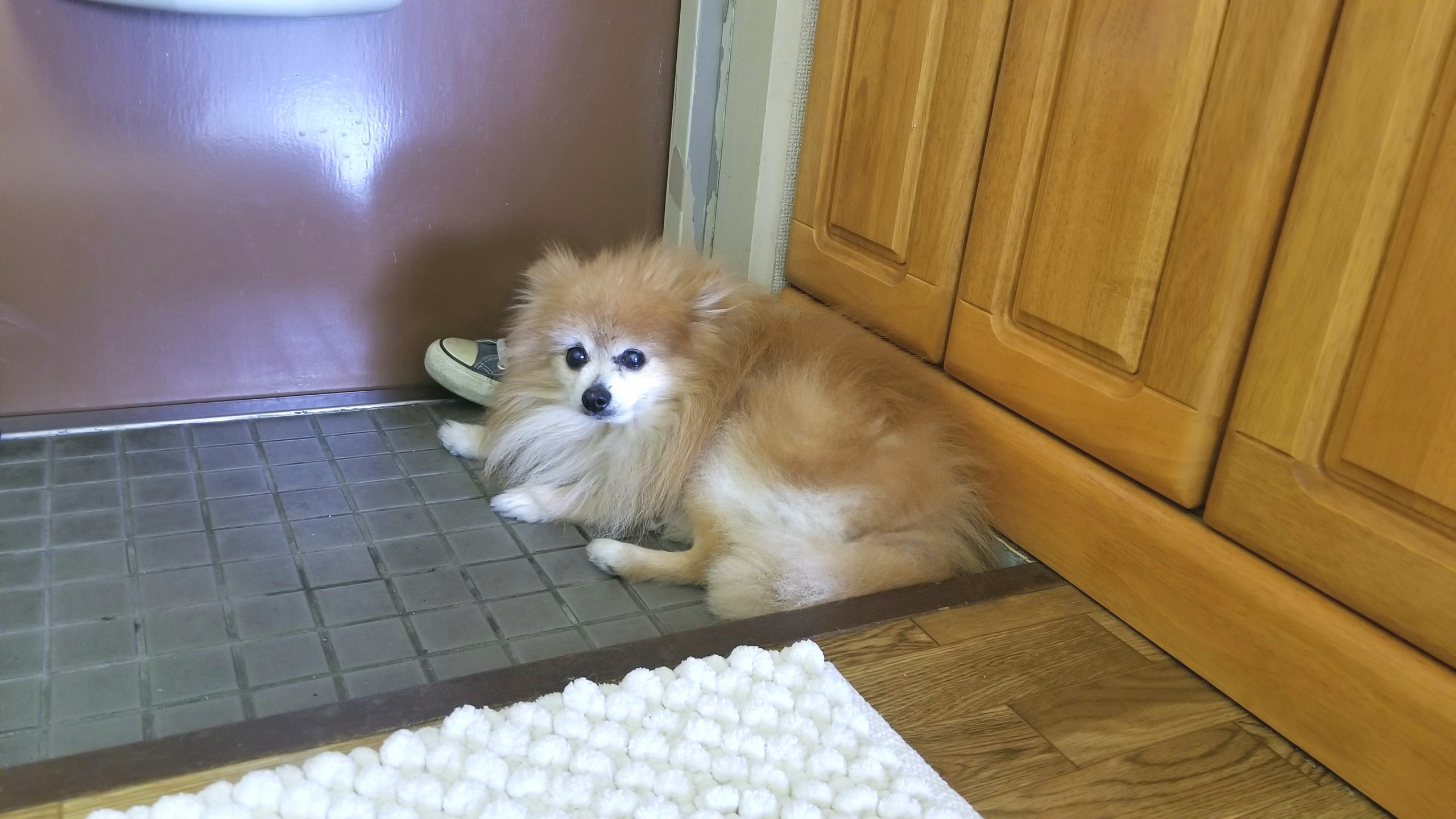 ペットの病気,ポメラニアン室内小型犬,ビワ温灸治療かわいそう