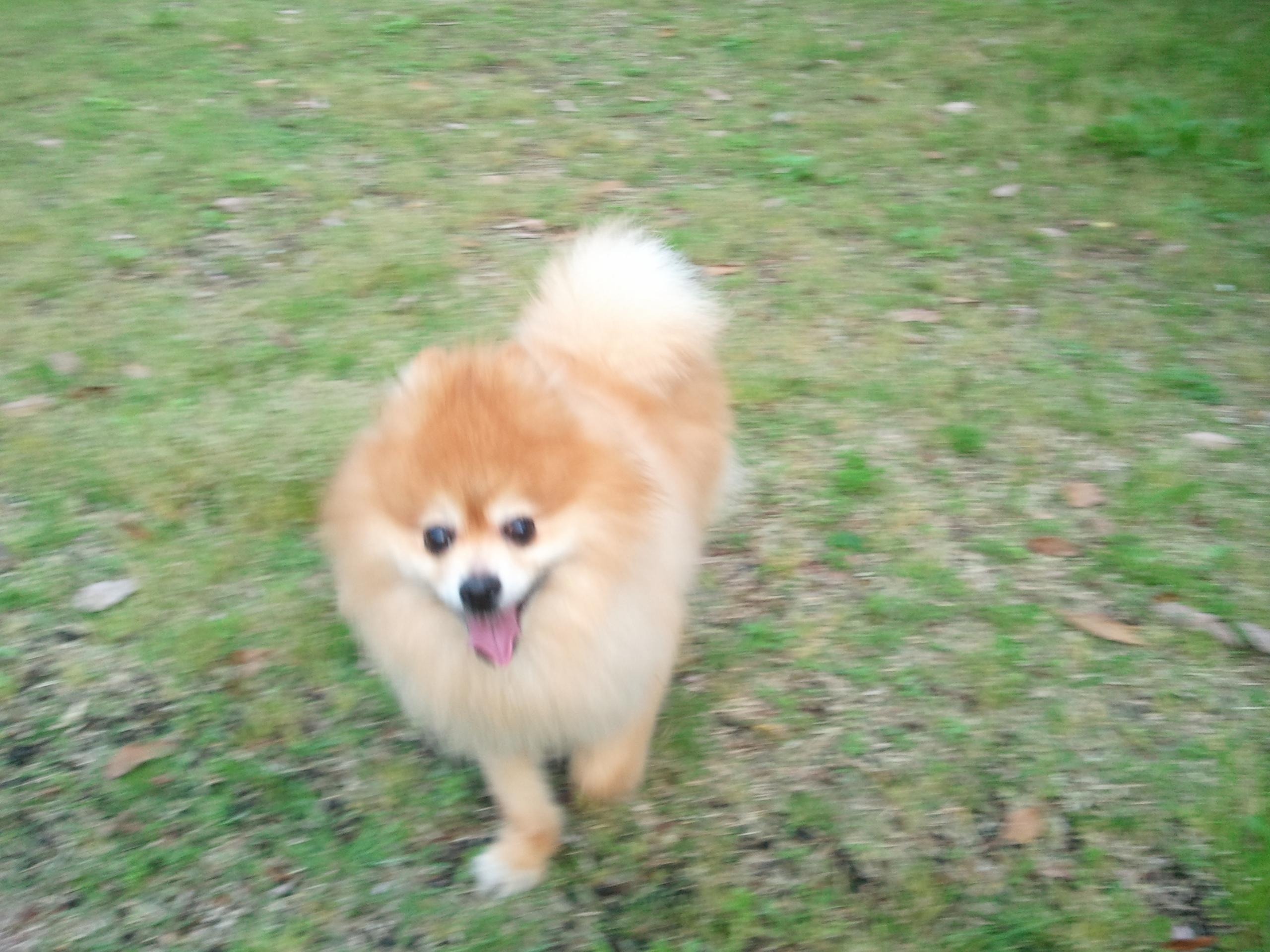 かわいいポメラニアン愛犬ワンラブこペット家族画像写真人気走る姿