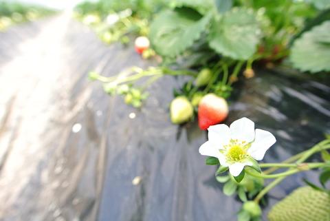 苺の花は花弁が真っ白で5,6枚付いている。花の中心付近はシベで黄色い