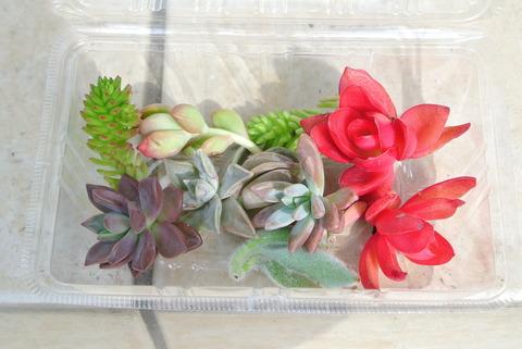 ホームセンターコーナンで売られていた多肉植物のセット。鮮やかな赤や緑、あずき色など色とりどりの多肉植物がパックに入れられて販売されていました。