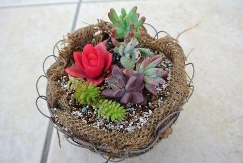 買って帰った多肉植物をヤシガラマットの鉢に寄せ植えしました。多肉植物のレイアウトを考えて作った寄植えはとても賑やかでキュートです。その中でも赤い多肉植物は色も形もまるでバラのようです。