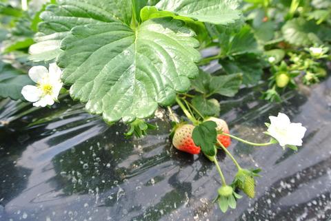 苺の苗と白い花の写真。苺の実も2つ実っているが苗に近い部分がまだ白く、熟していない。