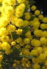 Acacia baileyana03