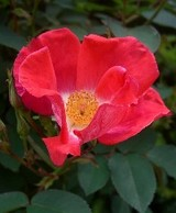 Cotswolds_Rose05
