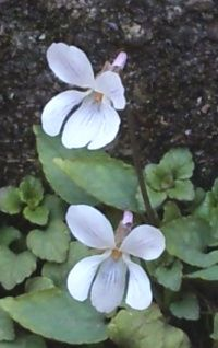 Viola japonica02
