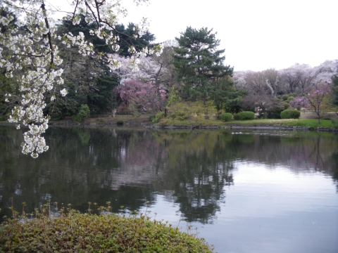 新宿御苑・さくら6