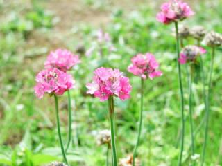 ハマカンザシ(浜簪)の花言葉(花ことば、はなことば)