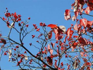 ハナミズキ(花水木)の花言葉(花ことば、はなことば)