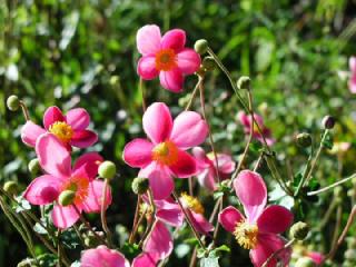 シュウメイギク(しゅうめいぎく、秋明菊)の花言葉(花ことば)