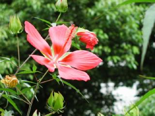 モミジアオイ(もみじあおい、紅葉葵)の花言葉
