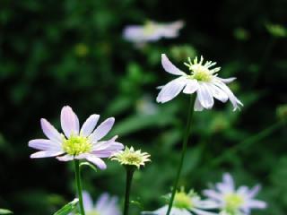 ミヤコワスレ(都忘れ)の花言葉(花ことば、はなことば)