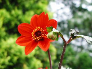 ダリア(だりあ)の花言葉(はなことば、花ことば)