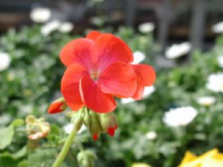 ゼラニウムの花言葉(花ことば、はなことば)