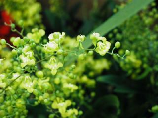 オンシジウム(オンシジューム)の花言葉(花ことば、はなことば)