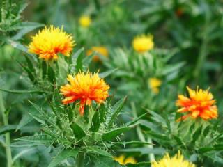 ベニバナ(べにばな、紅花)の花言葉(花ことば、はなことば)