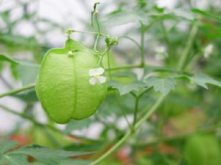 フウセンカズラ(風船蔓)の花言葉(花ことば、はなことば)