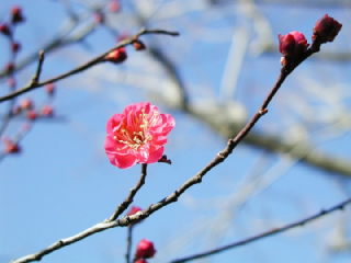 梅の花言葉(花ことば、はなことば)