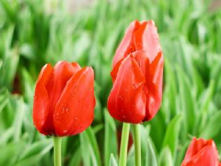 チューリップ(ちゅーりっぷ)の花言葉(はなことば、花ことば)