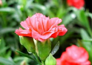 カーネーション(かーねーしょん)の花言葉(はなことば、花ことば)