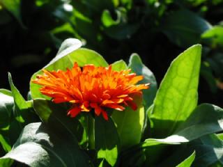 キンセンカ(きんせんか、金盞花)の花言葉(花ことば、はなことば)