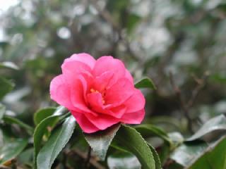 寒椿(かんつばき、カンツバキ)<br>  の花言葉(花ことば、はなことば)