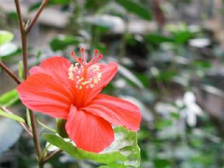 ハイビスカス(はいびすかす)の花言葉(はなことば、花ことば)