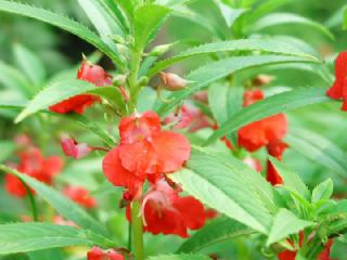 ホウセンカ(ほうせんか、鳳仙花)の花言葉(花ことば、はなことば)
