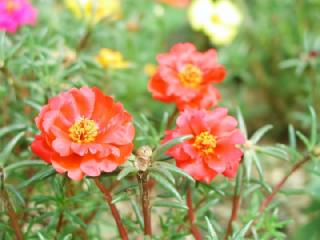 マツバボタン(松葉牡丹)の花言葉(花ことば、はなことば)